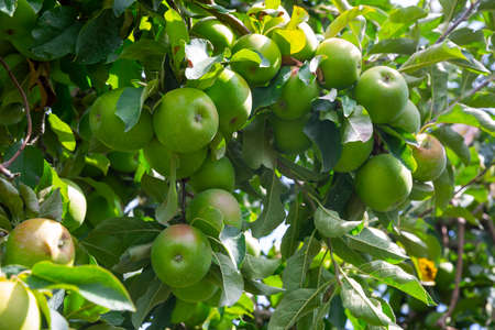Closeup of green apples tree branches with ripe juicy fruits in garden Stock fotó
