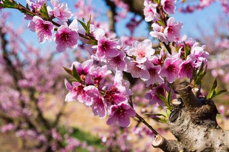 Flowers on peach tree branch