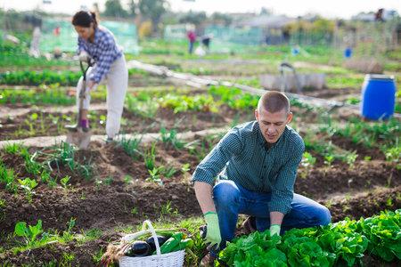 Young gardener harvesting green lettuce at smallholding