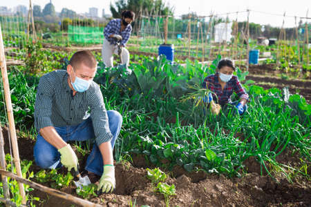 Amateur gardener in protective mask spudding young greens in vegetable garden