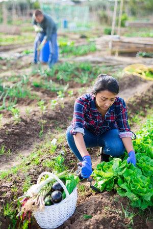 Focused Latina harvesting green lettuce on vegetable garden