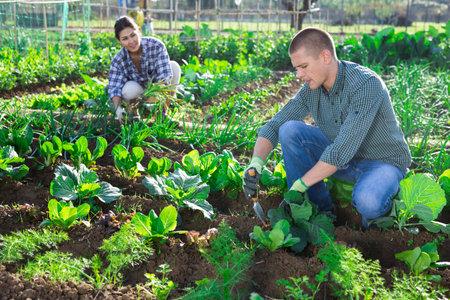 Amateur gardener spudding cabbage plants in vegetable garden