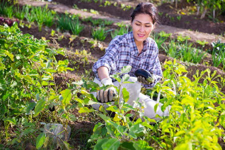 Asian woman harvesting ripe eggplants on vegetable garden