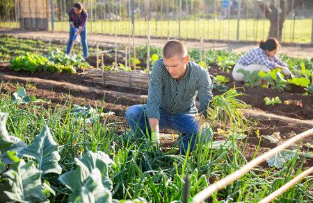 Amateur gardener harvesting green onions in garden bed