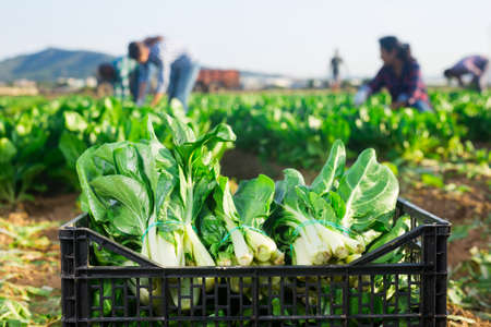 Picked chard in plastic container on field