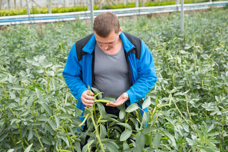 Farmer controlling process of growing of beans in glasshouse