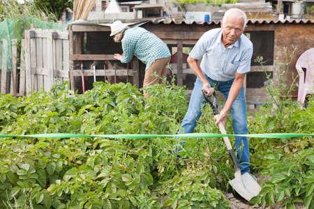 Mature man digs up potatoes.