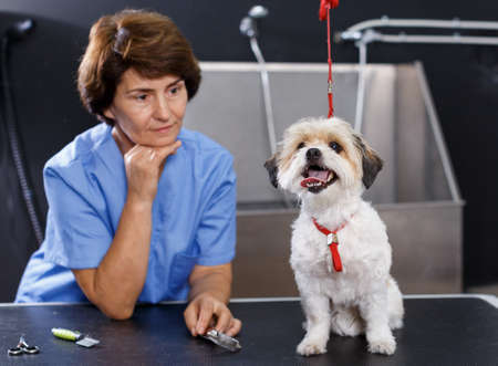 Havanese puppy waiting for grooming Stockfoto