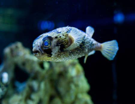 Spiny porcupinefish in aquarium