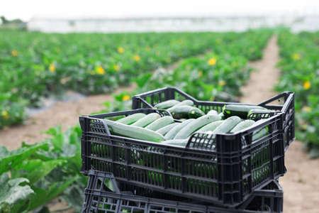 Boxes with freshly harvested zucchini on vegetable farm Zdjęcie Seryjne
