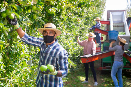 Worker in mask gathering apples at orchard