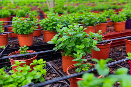 Image of mint growing in pots in a greenhouse.