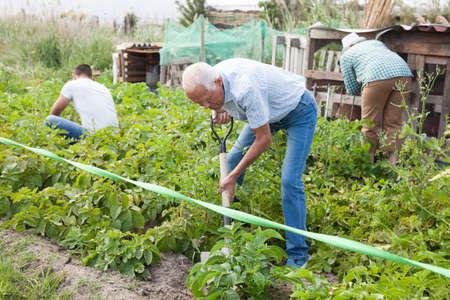 Senior man is dripping potatoes by shovel in garden outdoor