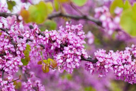 Judas tree purple blossoming