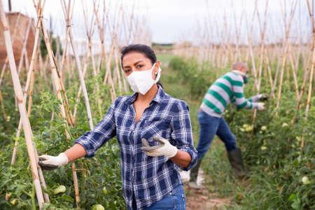 Female gardener in medical mask fastening tomato plants in garden