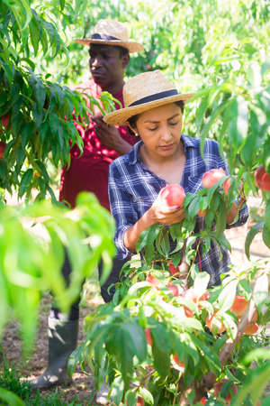 Latina working in farm orchard during peaches harvest 免版税图像