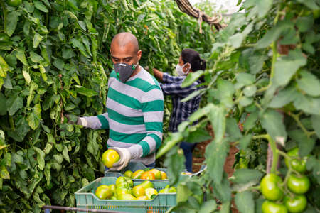Male farmer in mask picking green tomatoes
