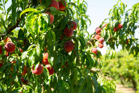 Ripe peaches on tree branches