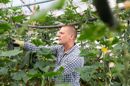 Man harvesting cucumbers in hothouse