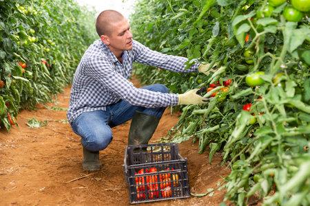 Man picking tomatoes inside warm house