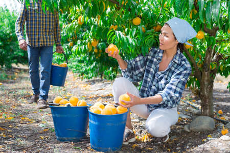 Man and woman harvesting peaches