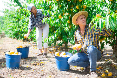 Two workers picking peaches in plantation Stock fotó