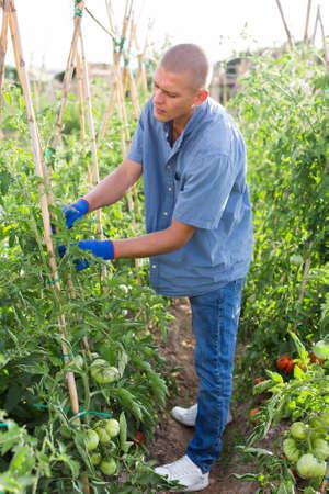 Man roping tomato stems Stock fotó