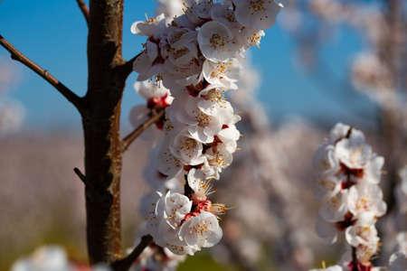 Apricot flowers on tree Stock fotó
