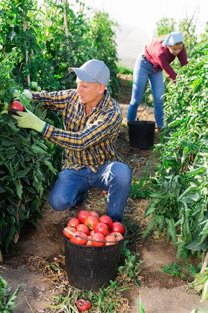 Man and girl picking ripe tomatoes