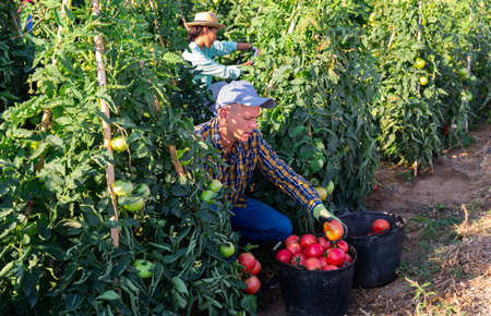 Woman and man picking red tomatoes Stock fotó