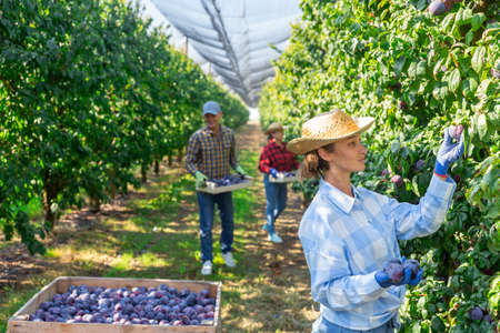 Woman and co-workers picking ripe plums Imagens