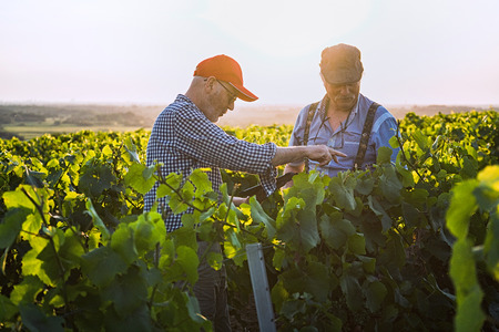 Winegrowers using a tablet, in their vines at sunset. Stock Photo