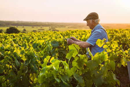 A senior winegrower works in his vines at sunset