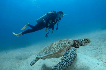 Diver and green sea turtles 스톡 콘텐츠