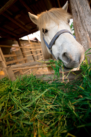 bent over: a horse in the paddock and bent over eating dry grass