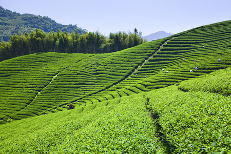 tea plantation in the mountaintop