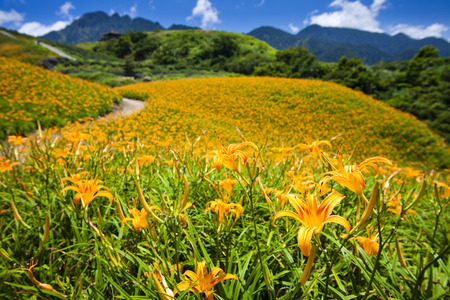 The beautiful Lily flower mountain of eastern Taiwan 免版税图像