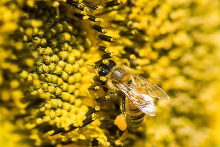 the honeybee rested on a sun flower Stock Photo