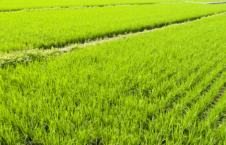Rice seedlings in the fields Stock Photo