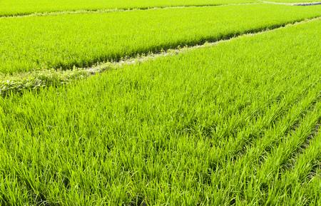Rice seedlings in the fields Reklamní fotografie