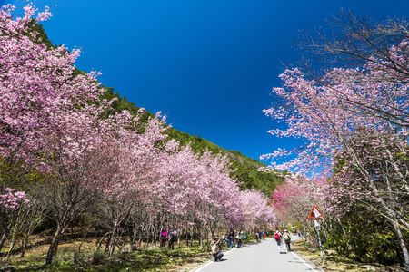 Sakura season, Cherry Blossom of wuling in Taichung, Taiwan
