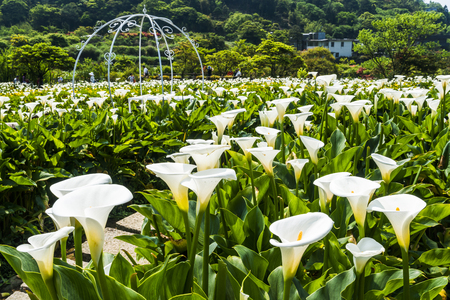 arum: Calla lily, many beautiful white flowers blooming in the garden in spring, arum lily, gold calla