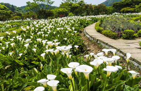 Calla lily, many beautiful white flowers blooming in the garden in spring, arum lily, gold calla