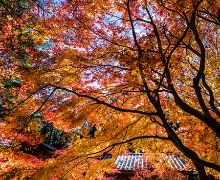 tourist site: Beautiful red maple leaves and tree in autumn season