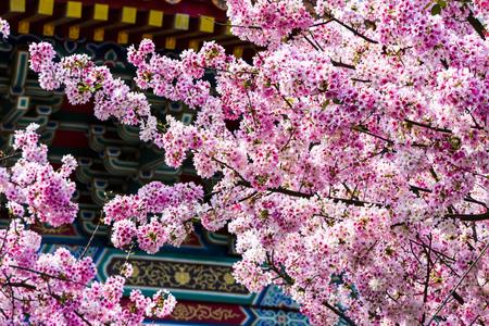 Sakura season, Cherry Blossom