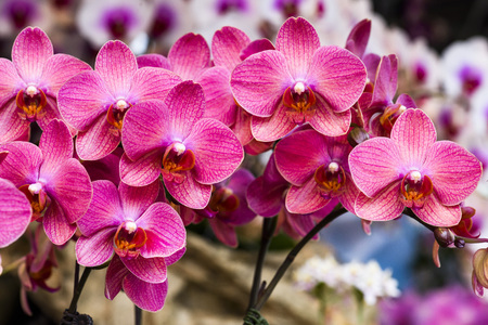 Close-up of orchids, orchid, Phalaenopsis amabilis, Stock Photo