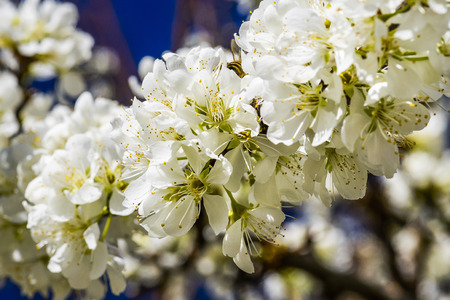 Branches with blooming white Prunus padus Stock Photo