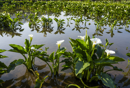beautiful white Calla lily flowers blooming in the garden, Calla lily field.