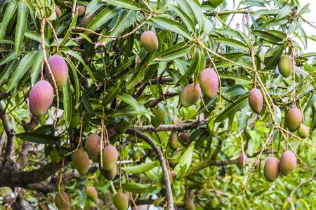 망고 나무에 망고 열매의 닫습니다 스톡 콘텐츠 - 93854103