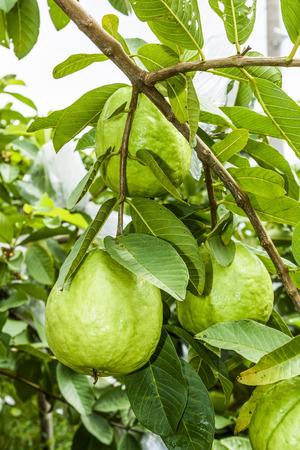 guava fruit on the tree Archivio Fotografico